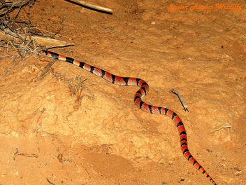 Coral Shield Cobra (Aspidelaps lubricus lubricus) - Free image #306659