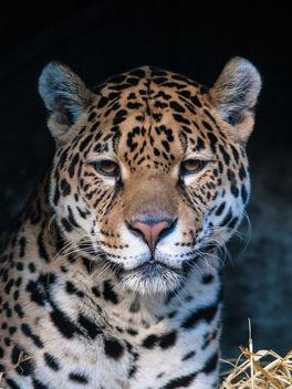 Jaguar - Free image #306679