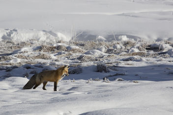 A red fox hunts near Terrace Spring - image #306709 gratis