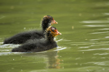 Coot Young - Free image #306799