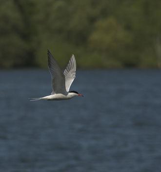 Common Tern - Sterna hirundo - Free image #306819