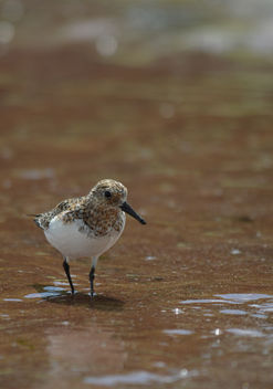 Little Stint - image gratuit #306829