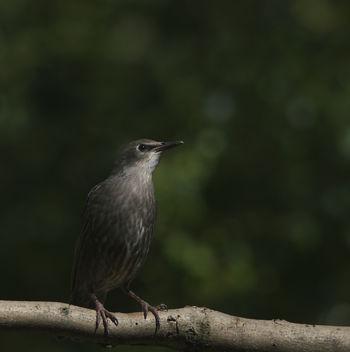 Juvenile Starling - image gratuit #306849