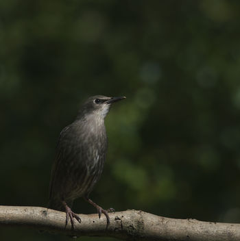 Juvenile Starling - Kostenloses image #306849