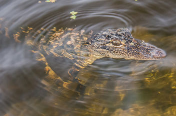 It's a baby alligator 2. - Free image #306949