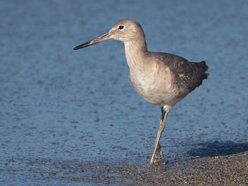 Willet a la Quatrieme Derriere - image #307029 gratis