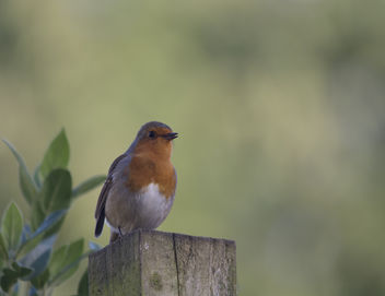 Robin Singing - Free image #307079