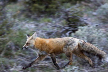 Fox in motion - image #307209 gratis