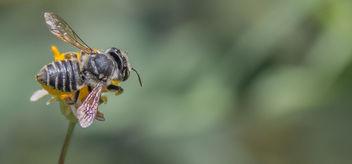 Genus Megachile Bee. - бесплатный image #307239