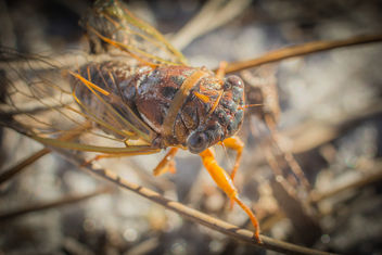 Cicada. - Free image #307309