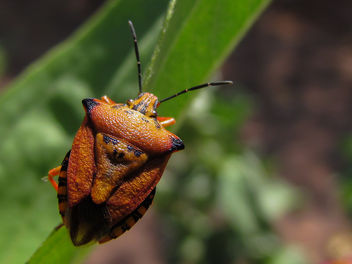 And yet another Shield Bug - image gratuit #307369