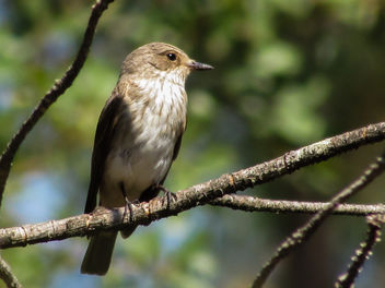 Spotted Flycatcher - Kostenloses image #307389