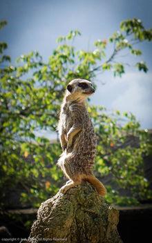 Meerkat - Kostenloses image #307399
