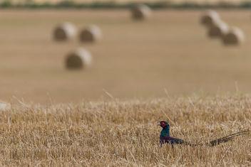 Black Pheasant - Free image #307459