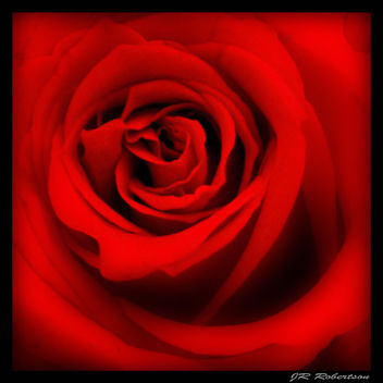 A Rose for LuAnn - Free image #307779