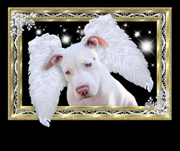 Framed White Puppy Dog Angel with Wings, Luna, American Pit Bull Terrier, Staffordshire, In Heaven from the Rainbow Bridge - image #308349 gratis