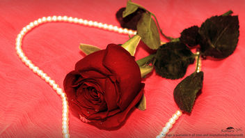Love in saint valentines breeze with rose flower#3 [Happy Valentines Day] - Free image #320349