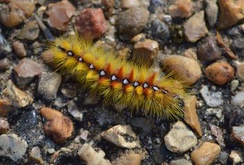 sycamore moth catarpillar - Free image #321579