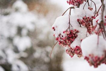 Frozen Berries - Free image #322539