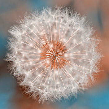 Dandelion Plasma - image gratuit #324749