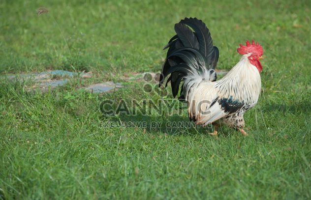 Rooster on grass - Free image #328069
