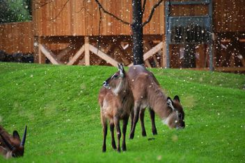deer grazing on the grass - image #328089 gratis