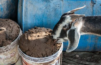 goats on a farm - image #328109 gratis