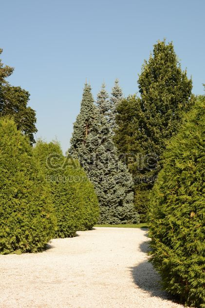 spruces in Park - Free image #328439