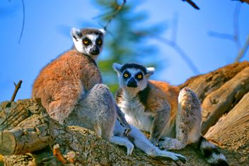 Lemur close up - Free image #328489