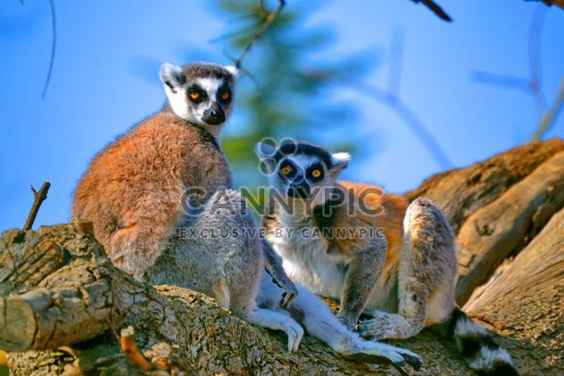 Lemur close up - image gratuit #328489