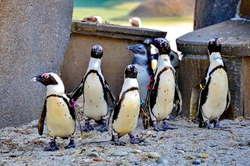 Group of penguins - image gratuit #328509