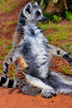 lemur sunbathing - image #328519 gratis