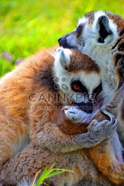 family of lemurs - Free image #328539