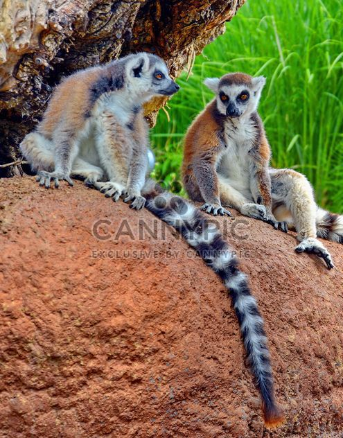 Lemures in park - image #328549 gratis