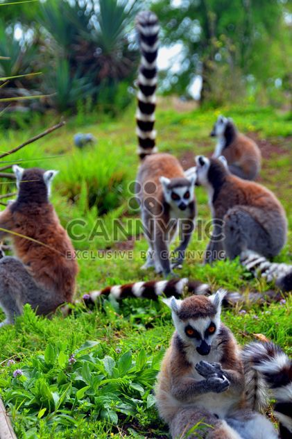 Lemurs close up - Free image #328559