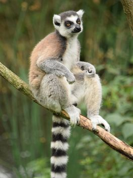 Lemur close up - image gratuit(e) #328589