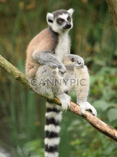 Lemur close up - image gratuit #328589