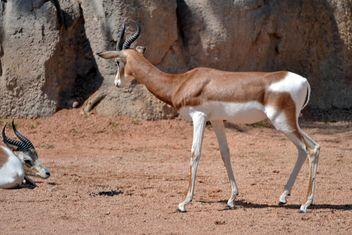 Antelope kid - image gratuit(e) #328649