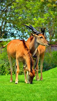 couple of antelope - image #328659 gratis