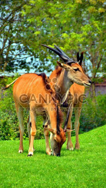 пара антилопы - бесплатный image #328659