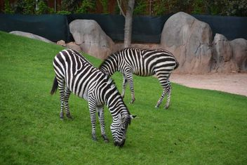 zebras on park lawn - Free image #329019