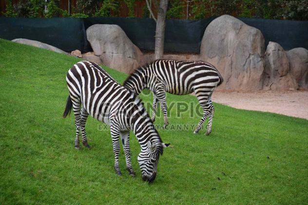 зебры на лужайке парка - бесплатный image #329019