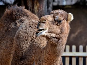 dromedary on farm - image #329039 gratis