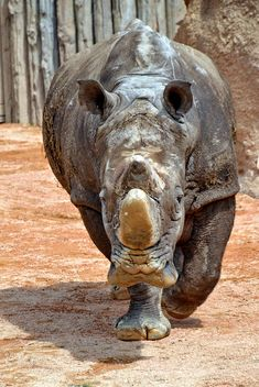 Rhinoceros in park - image #329059 gratis