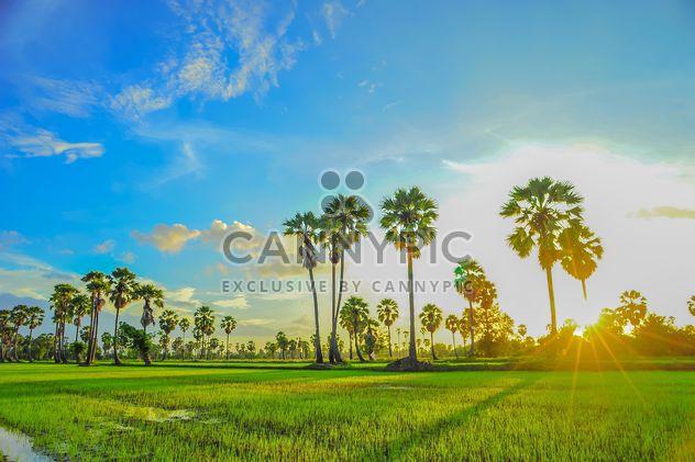 Закат на кукурузном поле - бесплатный image #330009