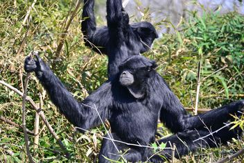 Siamang gibbon female with a cub - image gratuit #330229
