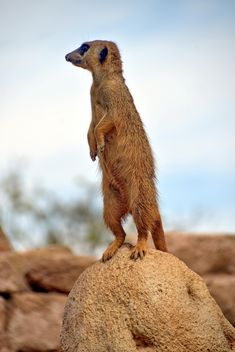 Meerkats in park - image #330259 gratis