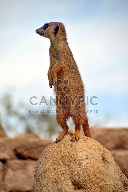 Meerkats in park - бесплатный image #330259