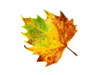Yellow autumn maple leaf - Free image #330419