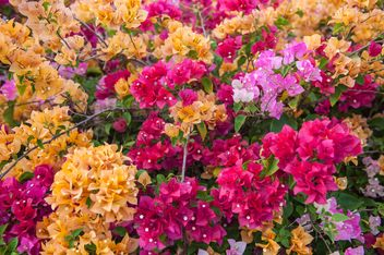 Bright colorful bougainvillea bush - image #330899 gratis